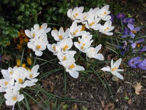Crocuses are the first sign of spring in Cambridge